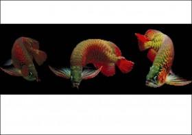 Схема вышивки бисером на атласе Рыбки Карпы