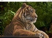 Схема для вышивки бисером на габардине Тигр